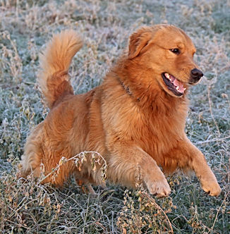 Wayne Golden Retriever Americano