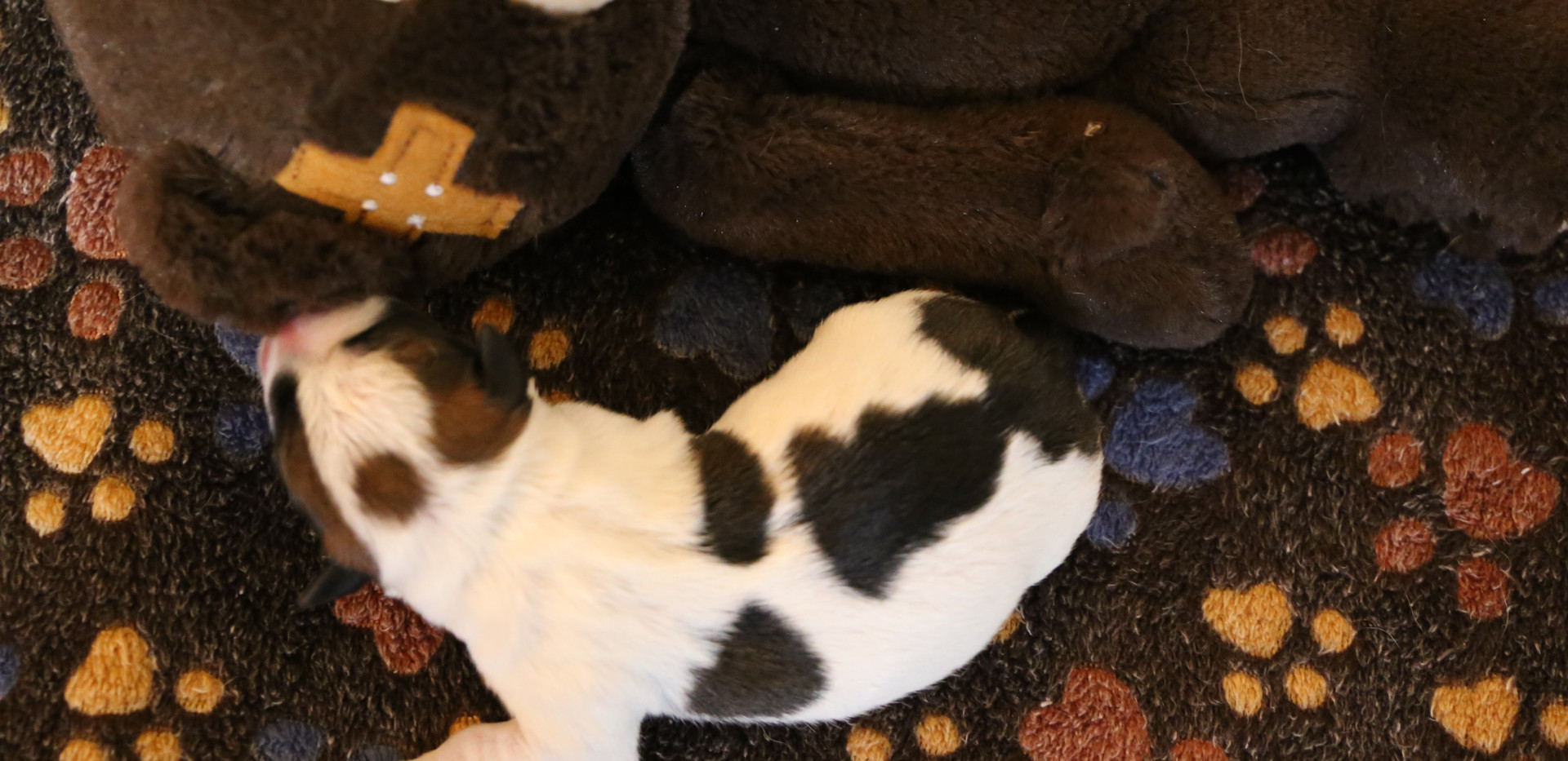 Jack Russell Terrier Leon d'oro