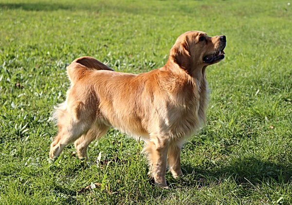 Rolex Golden Retriever del Leon d'oro