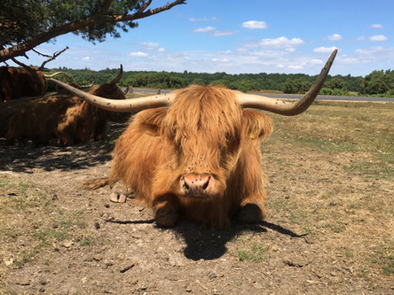 Highland cow in Forest
