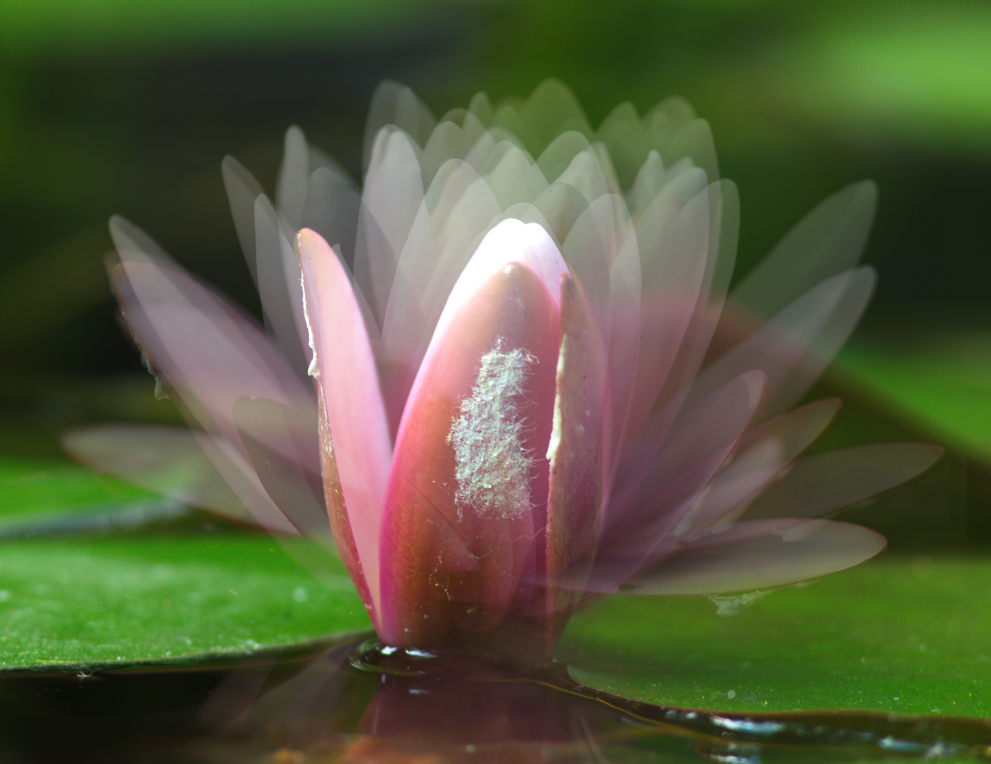 moving water lily