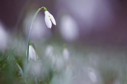 dreamy snowdrop
