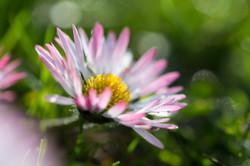 daisy in the evening sun