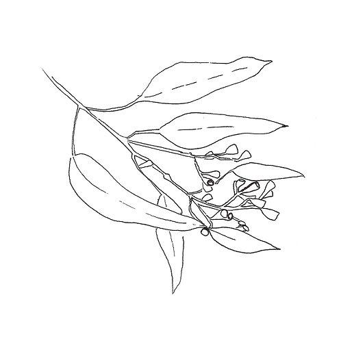 Eucualyptus