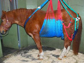 EHV-1/4 Impfantikörper Konzentrationen in Schweizer Pferden