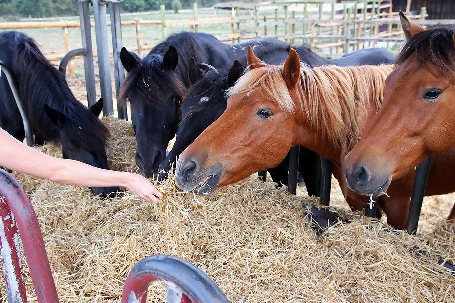 Group of beautiful farm horses feeding o