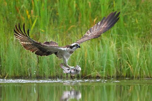 Osprey Web.jpg