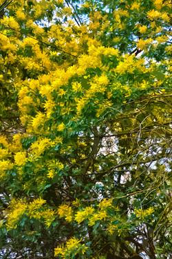 Mimosas en février
