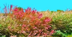 Buisson rouge – La Guérinière