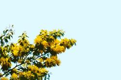 Branche de mimosas