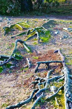 Racines – Bois de la Chaize