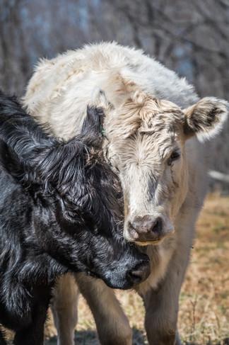 2021-03 Cattle Run Farm-PEC final (49 of