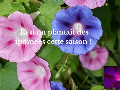 Et si on plantait des ipomées cette saison !