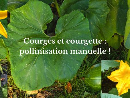 Courges et courgette : pollinisation manuelle !