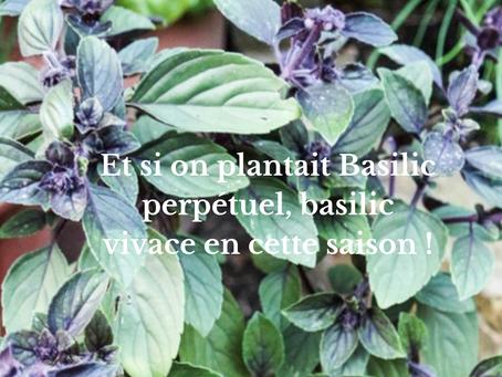 Et si on plantait Basilic perpétuel, basilic vivace en cette saison