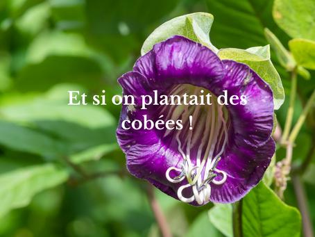 Et si on plantait des cobées !