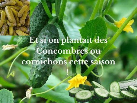 Et si on plantait des Concombres ou cornichons cette saison !