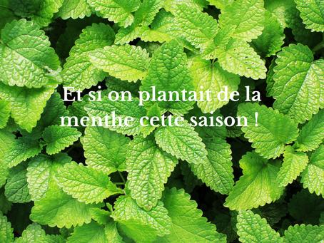 Et si on plantait de la menthe cette saison !