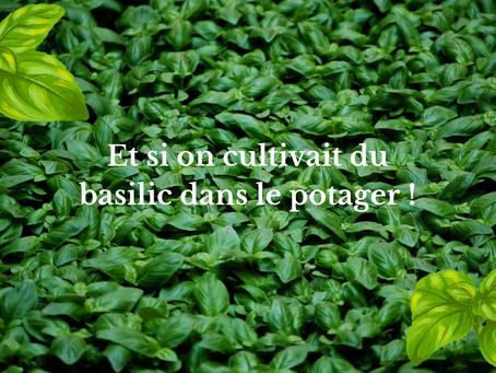 Et si on cultivait du basilic dans le potager !