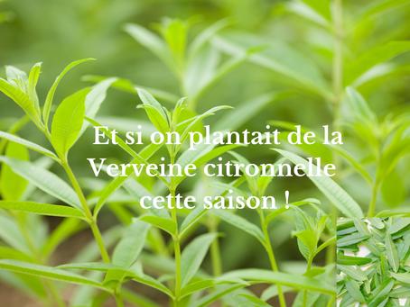 Et si on plantait de la Verveine citronnelle cette saison !