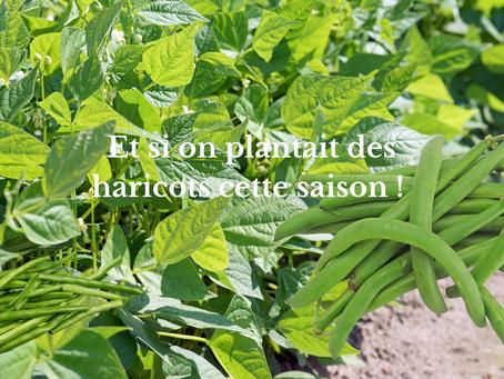 Et si on plantait des haricots cette saison !