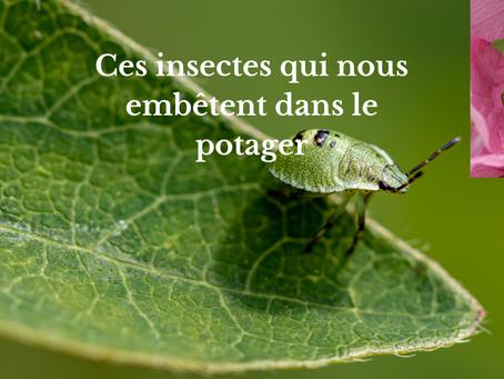 Ces insectes qui nous embêtent dans le potager