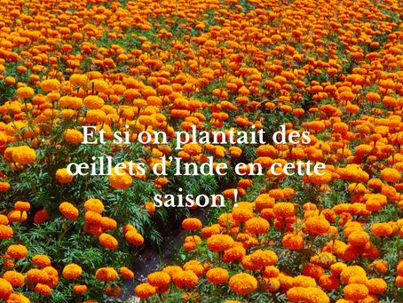 Et si on plantait des œillets d'Inde en cette saison !