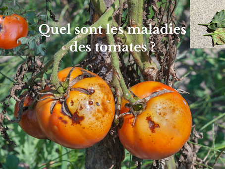 Quel sont les maladies des tomates ?