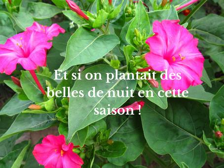 Et si on plantait des belles de nuit en cette saison !