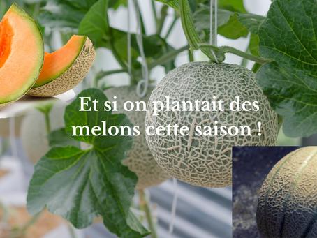Et si on plantait des melons cette saison !