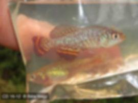 Nothobranchius species Mukobe CD 16-12