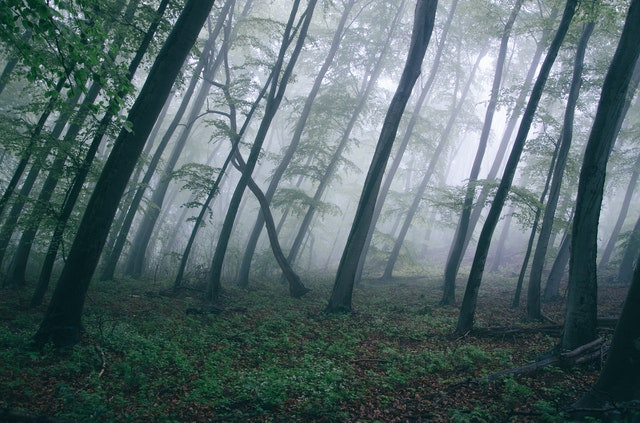 A picture of a misty woodland, trees seeming to grow leaning at an unnatural angle.