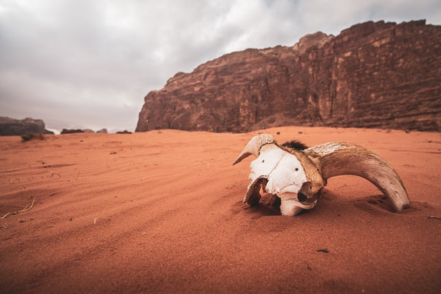 A herbivore skull, half-buried in sand.