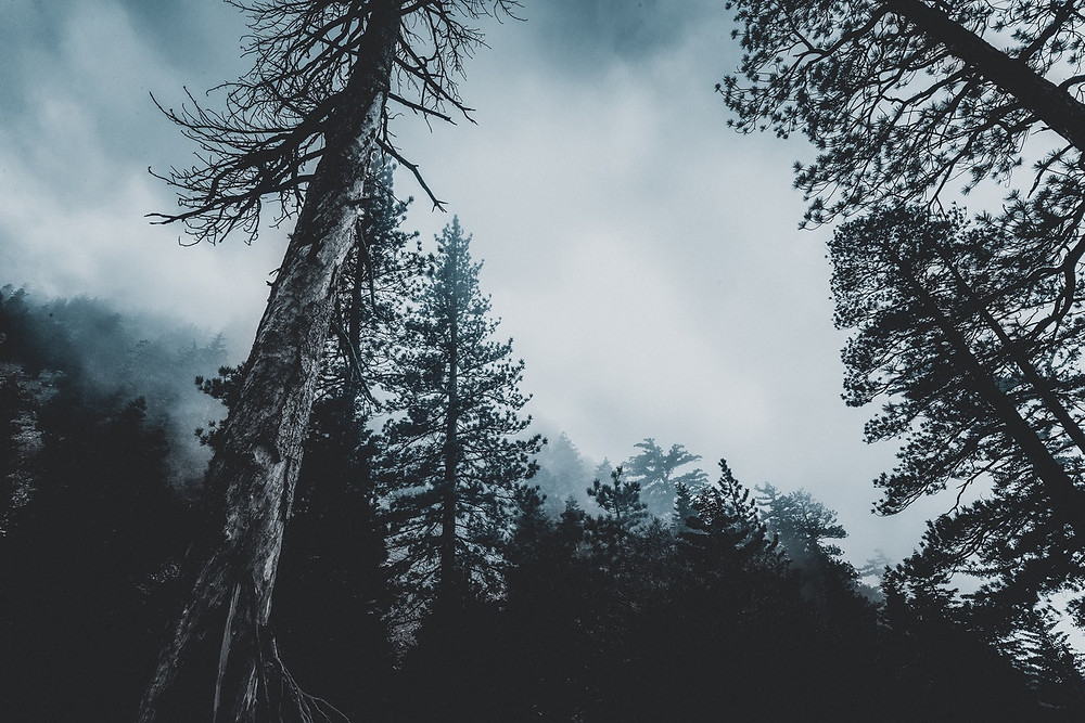 A photograph looking upwards toward the tops of some foreboding pine trees and a cloudy sky.