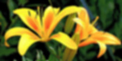 lily-1512813_1920_edited_edited_edited.j