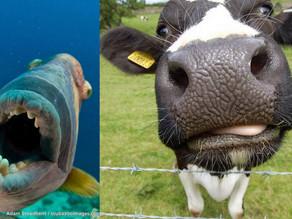 Le baliste et la vache