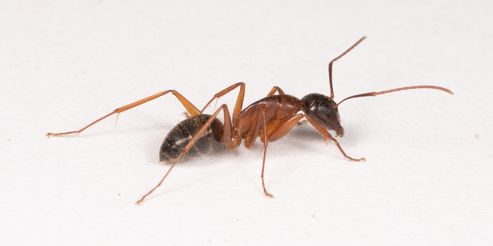 The Jasper Ridge Ant Survey (part 3)