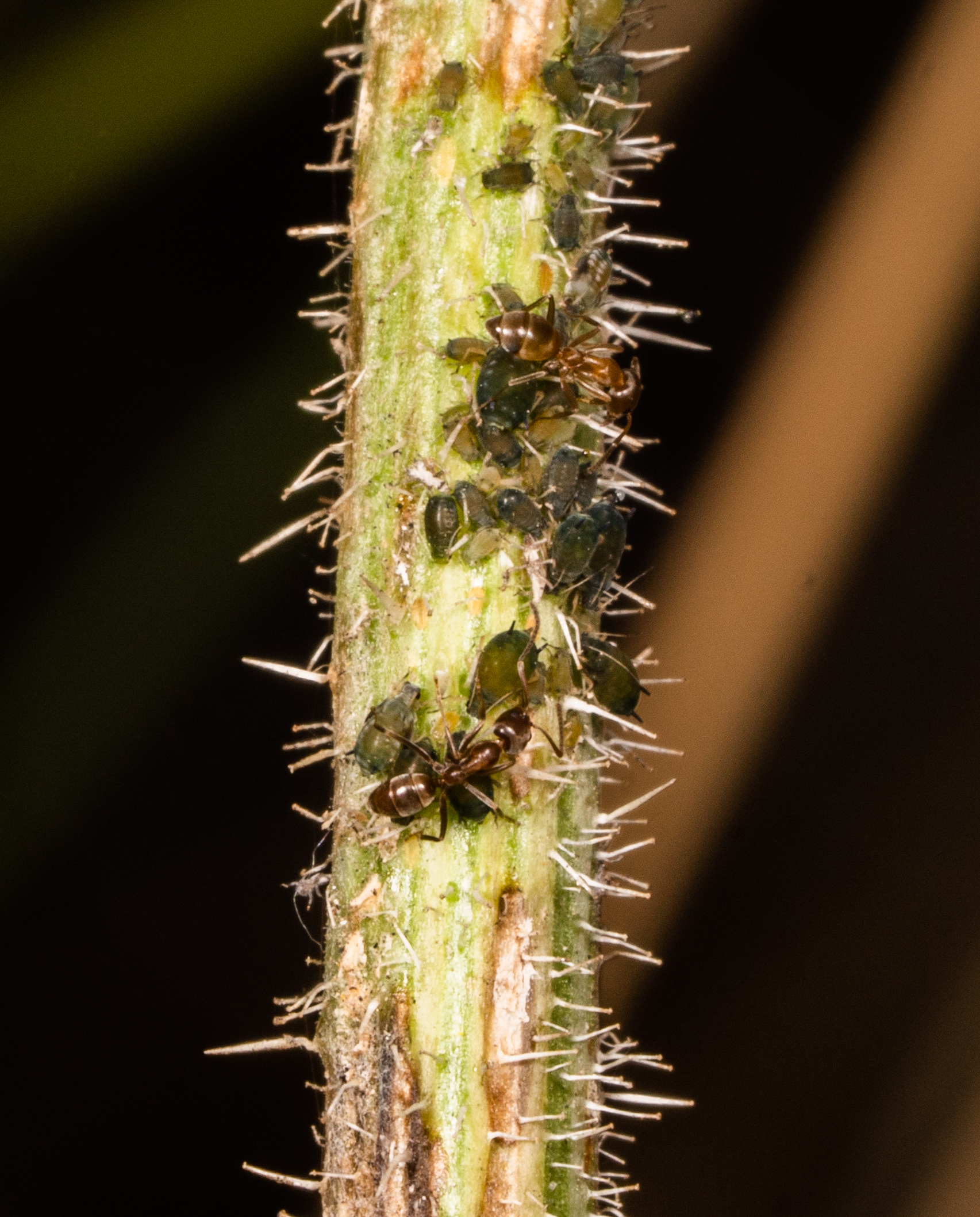 Argentine Ants tending Aphids