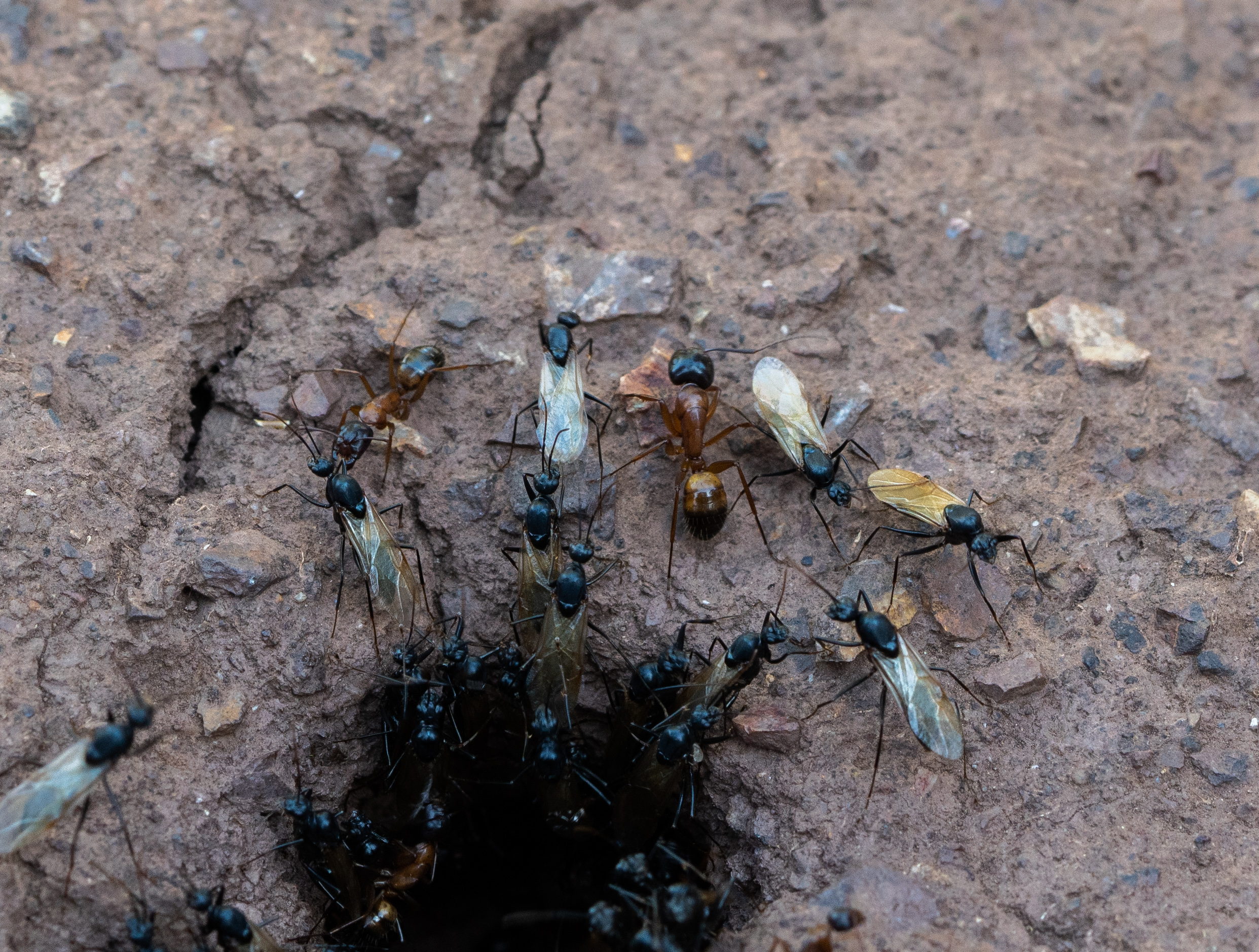 Carpenter ants nuptial flight