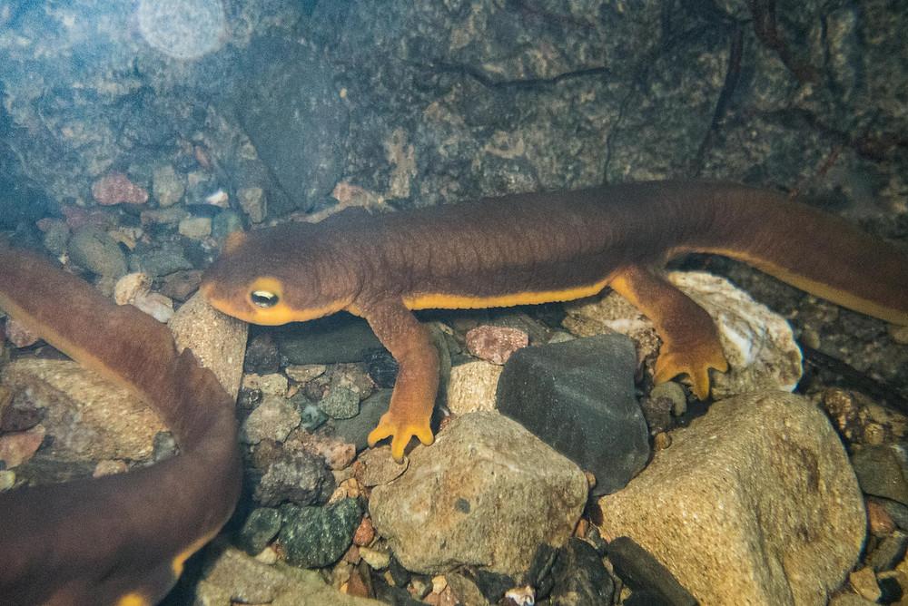 A newt under water