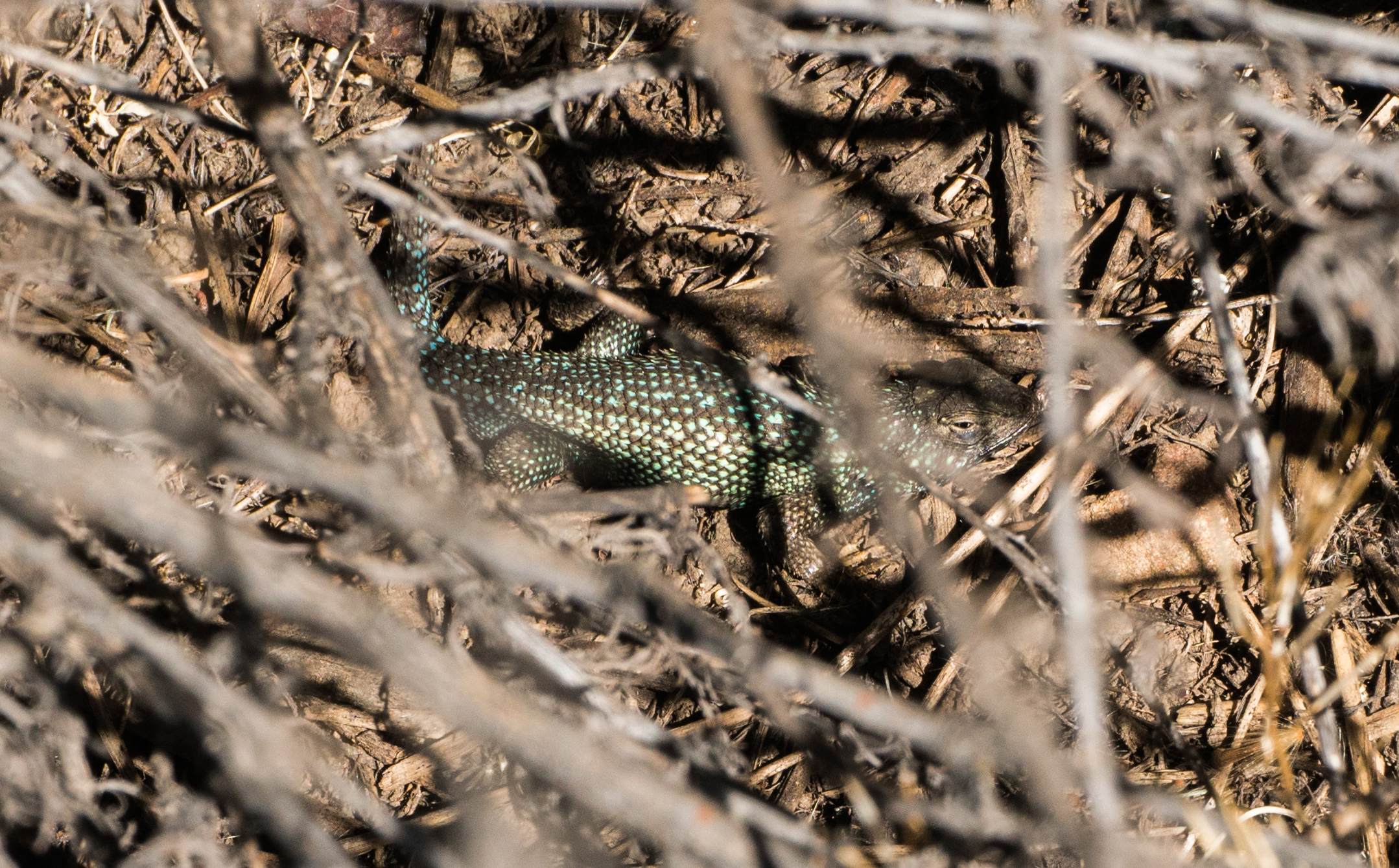 Green Western Fence Lizard