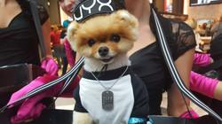 Jiff Pom Bella's Dog