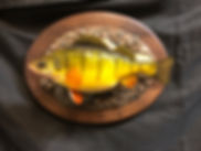 Devils Lake Jumbo Yellow Perch Fish Mount Replica taxidermy