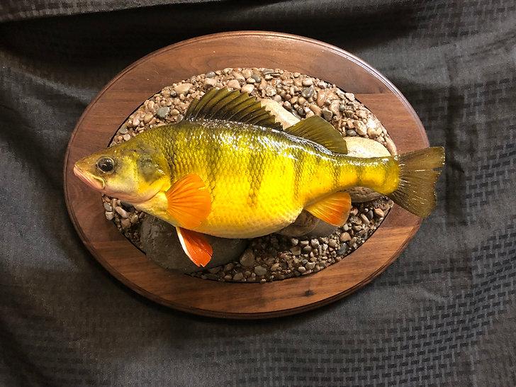 Devils Lake Jumbo Yellow Perch Fish Mount Replica taxidermy