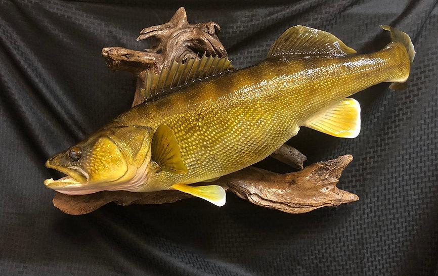 Walleye replica taxidermy