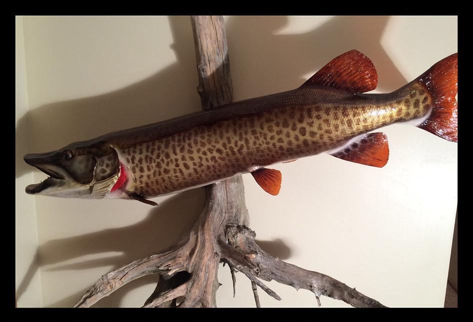 Musky muskie fish replica mount taxidermy