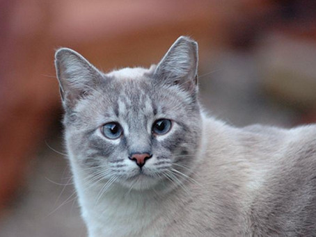 Outdoor Cats: It's Hip to be Tipped