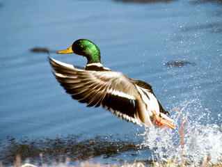 South Dakota hunting groups cry foul on waterfowl permits