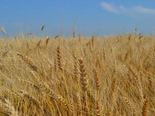 Winter wheat planting in South Dakota nears halfway point