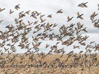 South Dakota commission upholds nonresident duck licenses